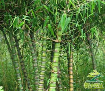 批发 罗汉竹 佛肚竹 大型室内盆栽竹子 观赏类竹子盆景 量大价优