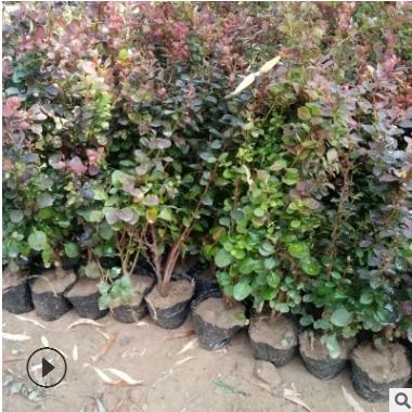大量供应行道绿化用红叶小檗 南北方种植红叶小檗 带土球发货