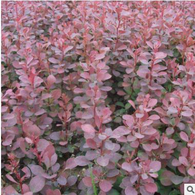 出售红叶小檗苗 风景绿化苗带土球发货易管理价格合理 红叶小檗