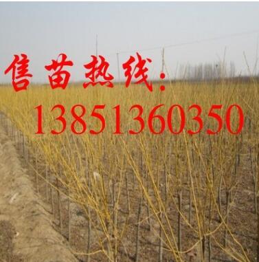 批发金枝槐树苗 黄金槐树苗 供应胸径2-15厘米金枝槐