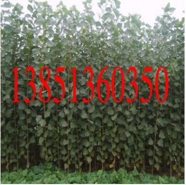 大量售优质杨树苗 意大利杨树苗 欧美杨树等多个品种杨树苗