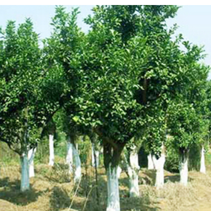 湖南香泡树