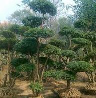 供应耐寒绿化植物小叶女贞苗 小叶女贞球 小叶女贞造型树