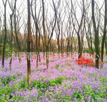 二月兰种子耐寒耐阴花草种子诸葛菜春春秋树下播种观赏花海种子