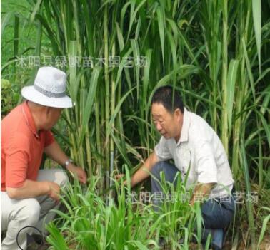 墨西哥玉米草优12种子高产优质营养价值丰富牧草种子批发