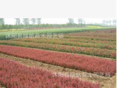 紫叶小檗苗 红叶小波小苗批发 床苗 扦插苗 场地直销园区道路绿化