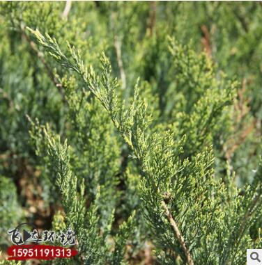 基地批发销售爬地柏苗 供应优质爬地柏小苗量大