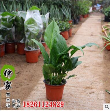 白掌盆栽观赏白掌红掌盆栽 净化空气土培水培绿植盆栽