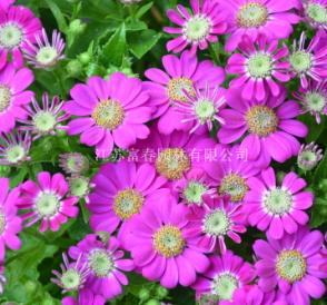 直销园林植物 绿植盆栽 草本植物盆栽花卉重瓣瓜叶菊 易养活