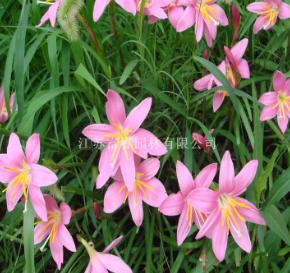 苗圃直销地被植物 兰花三七 水生植物 宿根花卉 价格从优