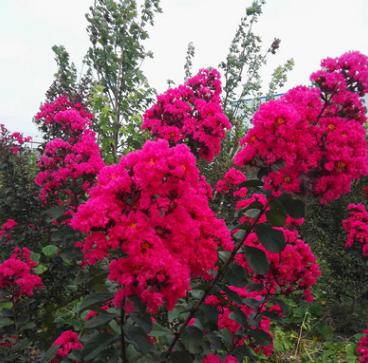 红花红枝红叶 美国红叶紫薇 百日红大小树 袋装 绿化工程苗木批发