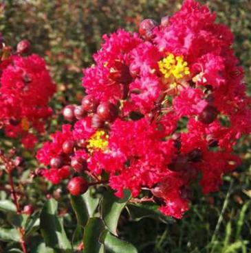 绿化植物 美国紫薇树红花 红花紫薇花苗美国小树庭院苗木厂家批发