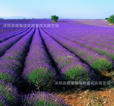批发普罗旺斯熏衣草种子 法国薰衣草种子四季播种 香草种子