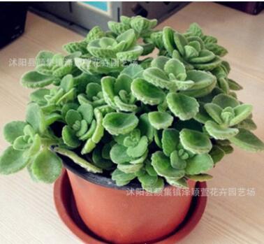 批发碰碰香盆栽 办公室内桌面盆栽花卉 迷你小盆景 可爱 趣味