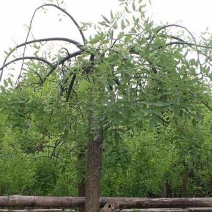绿化工程苗木批发 垂槐树苗 龙爪槐苗 规格齐全 园林道路绿化