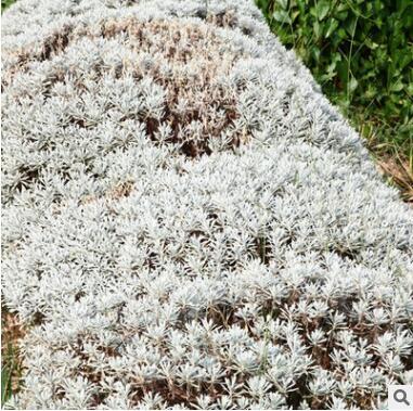 铁树芙蓉菊观赏常绿植物户外室内植物盆栽盆景庭院景观设计施工