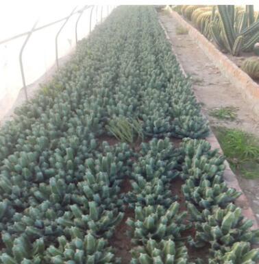白角麒麟大戟科 现代沙漠植物馆展览景观布置 生态园 植物园施工