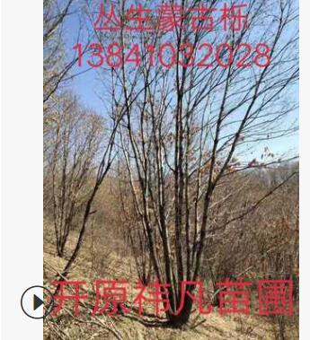 长期出售丛生蒙古栎 精品蒙古栎 蒙古栎价格 单杆蒙古栎树