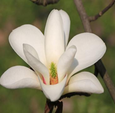 基地直销白兰花树苗白兰花盆栽黄角兰芳香绿植 十里飘香 香味独特