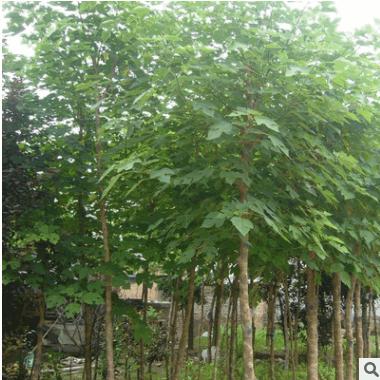 供应各种绿化苗楸树 楸树 树苗
