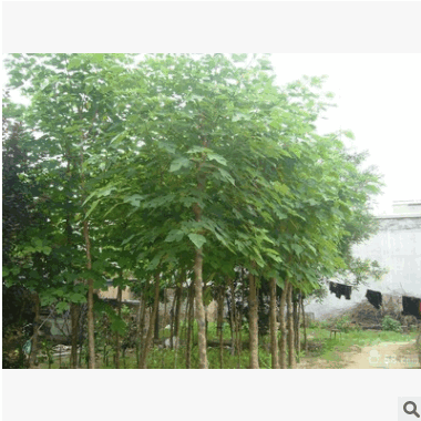 楸树工程用优质绿化苗木 适宜南北种植