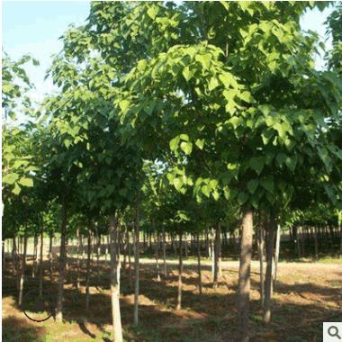 基地直销优质楸树 楸树树苗批发 工程绿化苗木 四季常青 规格齐全