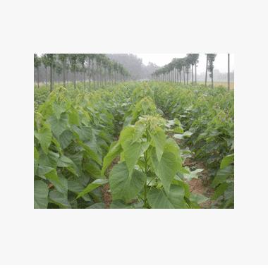 楸树 工程用优质绿化苗木 楸树价格 适宜南北种植