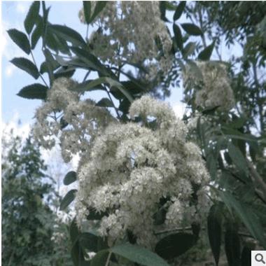 花楸树观赏用苗出售 绿化工程用苗批发出售花楸树苗批发