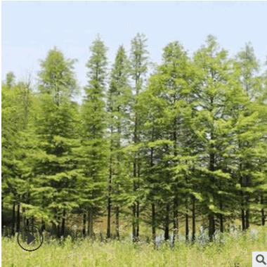 苗圃批发中山杉 中山杉树苗 行道园林风景树 规格齐全 量大优惠