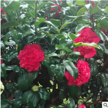 山茶花树 耐冬茶花树 带花苞发货 易种植 丛生形茶花球
