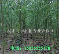 纯正竹柳种源源自涡阳竹柳合作社