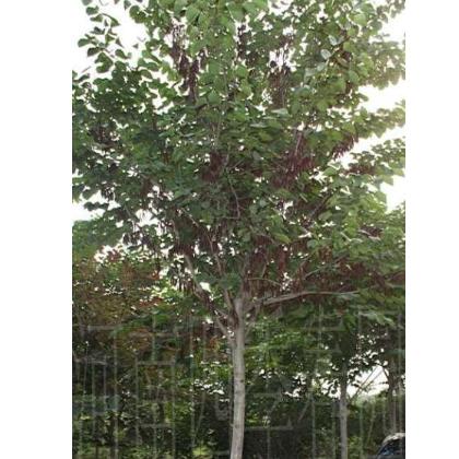 紫荆树的寓意 河南巨紫荆的应用