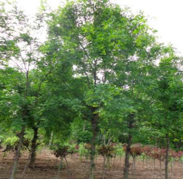 供应大小规格皂角树 树形优美 量大从优