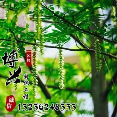 基地直销供应各种树苗 优质枫杨树苗 速生行道树 规格齐全枫杨