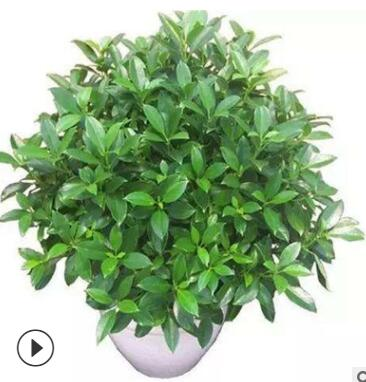 室内客厅大型绿植 非洲茉莉盆栽花卉植物 四季常青净化空气吸甲醛