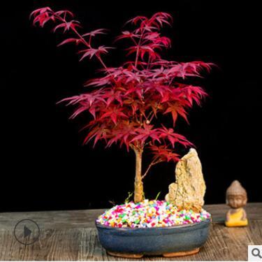 日本红枫盆载 四季红枫树苗 红舞姬盆景微型树桩观叶盆栽植物室内