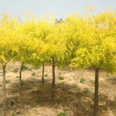 专业种植金叶槐 绿化风景苗木金叶槐 抗风性强 金叶槐树苗价格优
