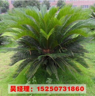 批发四季常青 苏铁小苗 又名铁树苗 可盆栽 园林绿化苗木量大优惠
