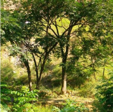 苦楝树苗工程绿化苗木基地批发行道点缀色块绿篱苦楝树
