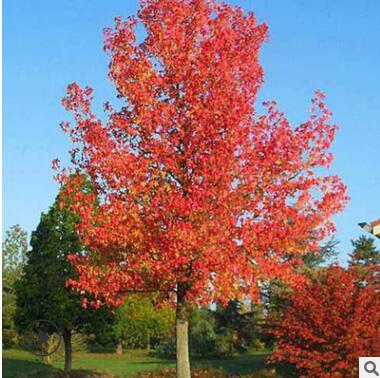 枫香树苗批发 树形优美园林绿化行道树