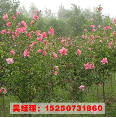 木槿 丛生木槿 木槿价格 绿化树苗批发 绿化苗木 庭院观花植物