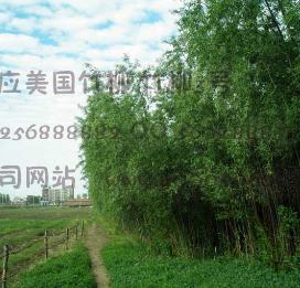 美国竹柳林