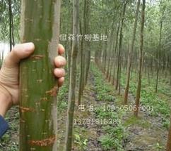 美国竹柳工程苗