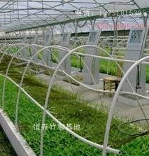 美国竹柳容器苗
