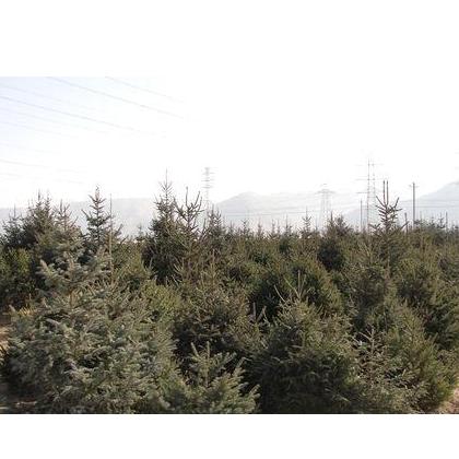 销售一米五以上绿化工程用云杉,甘肃云杉 大云杉