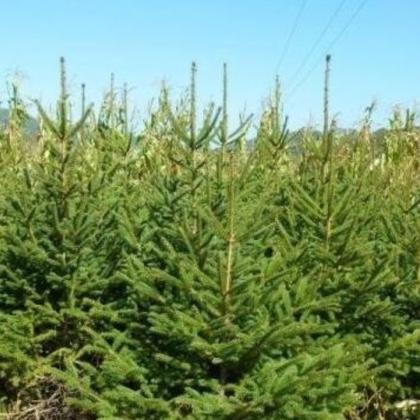 供应 常绿云杉 绿化工程用云杉树 庭院苗木盆栽 4年云杉秒