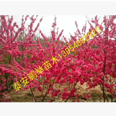 6-8公分碧桃树苗 品种多样垂丝碧桃红叶碧桃现场起苗易成活绿化苗