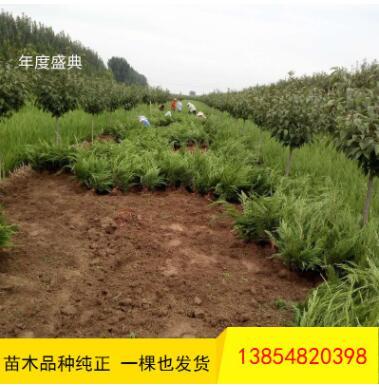 批发龙柏 工程道路绿化用 常青地栽龙柏树 低价出售