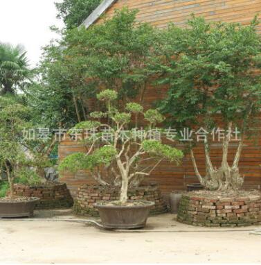 如皋风景树盆栽 造型细叶黄杨绿化苗木嫁接细叶黄杨盆景量大优惠