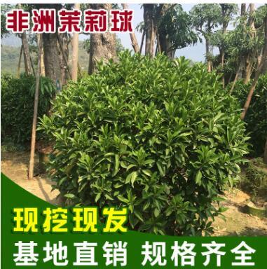 福建非洲茉莉球批发 绿化工程专用灰莉球苗